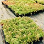 Sedum Roof Pack