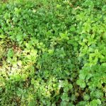 premium sedum turf / carpet