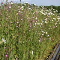 Wildflower Turf